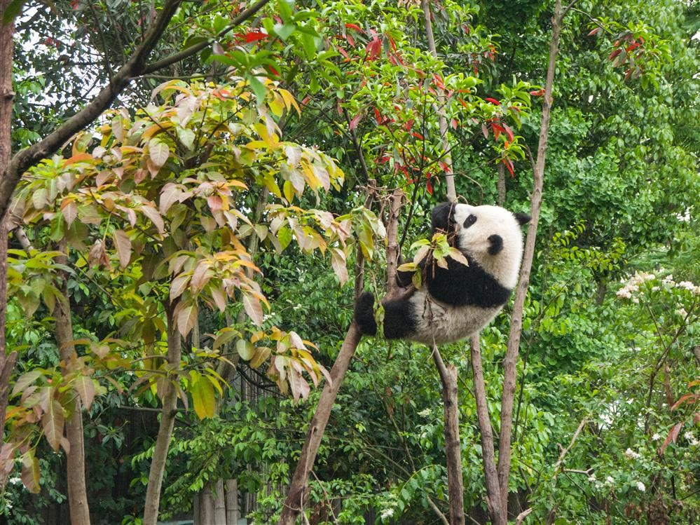 Panda in the trees